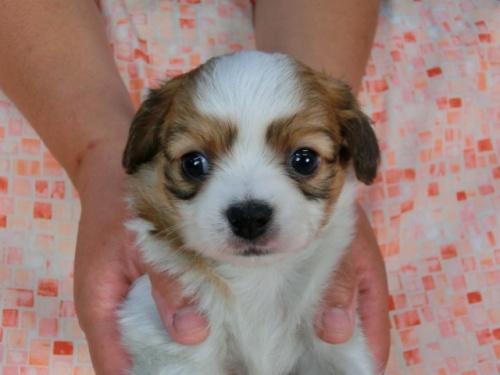 パピヨンの子犬(ID:1244711449)の3枚目の写真/更新日:2017-04-28