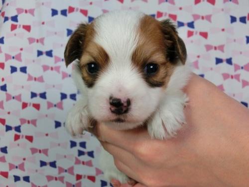 パピヨンの子犬(ID:1244711450)の1枚目の写真/更新日:2017-04-28