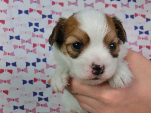 パピヨンの子犬(ID:1244711450)の2枚目の写真/更新日:2017-04-28