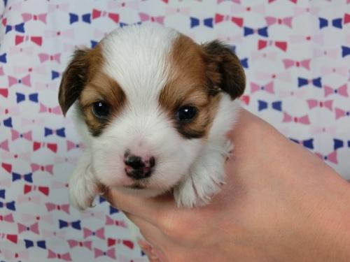 パピヨンの子犬(ID:1244711450)の3枚目の写真/更新日:2017-04-28