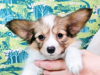パピヨンの子犬(ID:1244711451)の1枚目の写真/更新日:2017-05-19