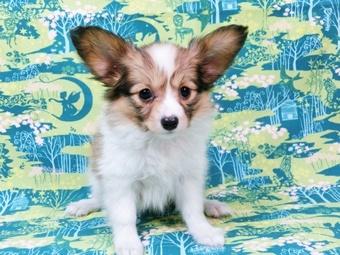 パピヨンの子犬(ID:1244711451)の2枚目の写真/更新日:2017-05-19