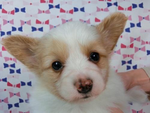 パピヨンの子犬(ID:1244711452)の1枚目の写真/更新日:2017-05-19