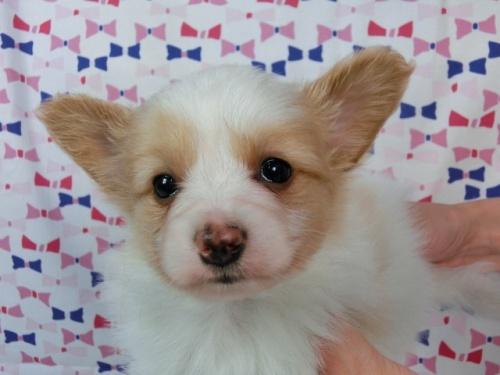 パピヨンの子犬(ID:1244711452)の2枚目の写真/更新日:2017-05-19