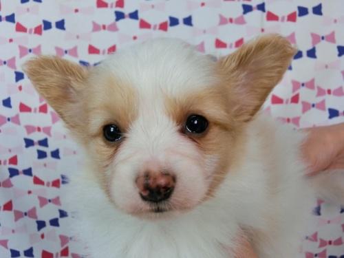 パピヨンの子犬(ID:1244711452)の3枚目の写真/更新日:2017-05-19