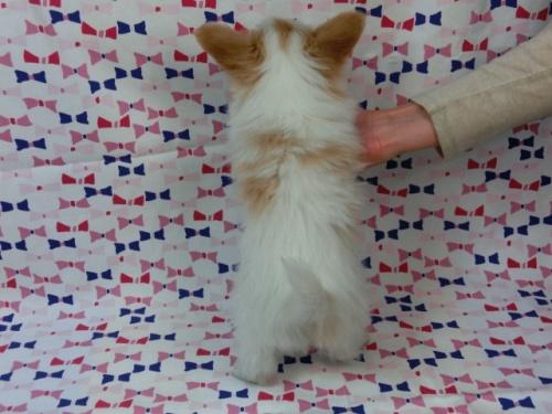 パピヨンの子犬(ID:1244711452)の4枚目の写真/更新日:2017-05-19