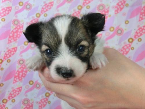パピヨンの子犬(ID:1244711453)の2枚目の写真/更新日:2017-05-06
