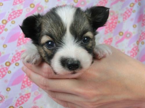 パピヨンの子犬(ID:1244711453)の3枚目の写真/更新日:2017-05-06