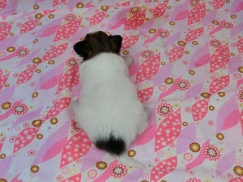 パピヨンの子犬(ID:1244711453)の4枚目の写真/更新日:2017-05-06