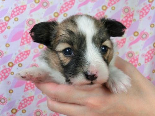 パピヨンの子犬(ID:1244711454)の1枚目の写真/更新日:2017-05-06