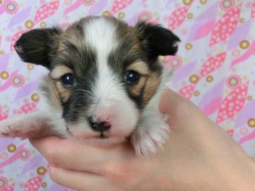 パピヨンの子犬(ID:1244711454)の2枚目の写真/更新日:2017-05-06