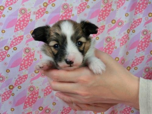 パピヨンの子犬(ID:1244711454)の3枚目の写真/更新日:2017-05-06