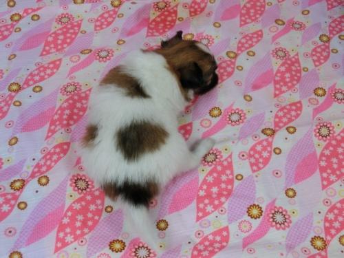 パピヨンの子犬(ID:1244711454)の4枚目の写真/更新日:2017-05-06