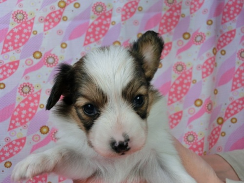 パピヨンの子犬(ID:1244711455)の1枚目の写真/更新日:2017-05-06