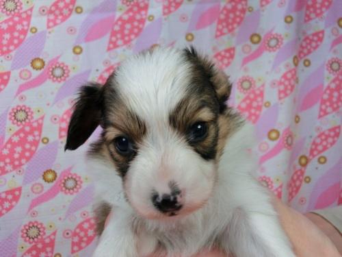 パピヨンの子犬(ID:1244711455)の2枚目の写真/更新日:2017-05-06