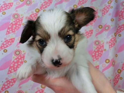 パピヨンの子犬(ID:1244711455)の3枚目の写真/更新日:2017-05-06