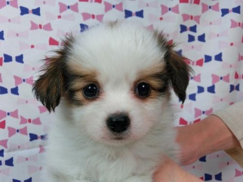 パピヨンの子犬(ID:1244711456)の1枚目の写真/更新日:2017-05-19