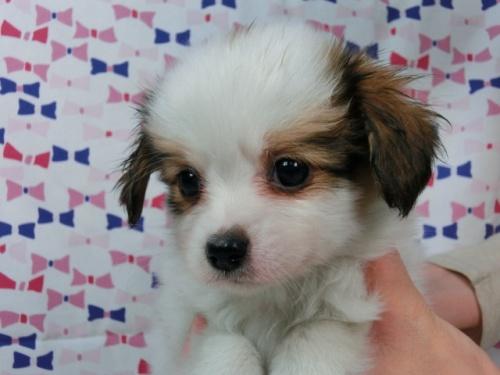 パピヨンの子犬(ID:1244711456)の2枚目の写真/更新日:2017-05-19