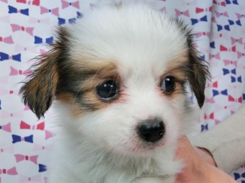 パピヨンの子犬(ID:1244711456)の3枚目の写真/更新日:2017-05-19