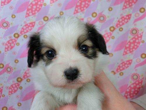 パピヨンの子犬(ID:1244711457)の1枚目の写真/更新日:2017-05-06