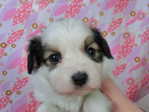 パピヨンの子犬(ID:1244711457)の2枚目の写真/更新日:2017-05-06
