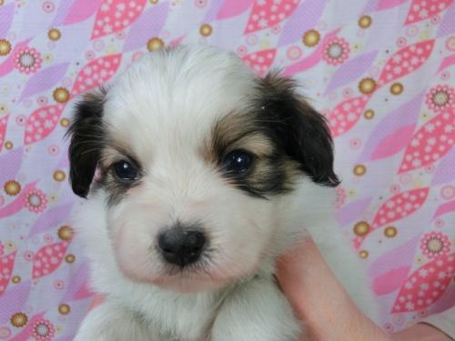 パピヨンの子犬(ID:1244711457)の3枚目の写真/更新日:2017-05-06