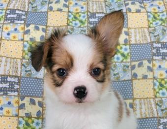 パピヨンの子犬(ID:1244711458)の1枚目の写真/更新日:2017-05-19