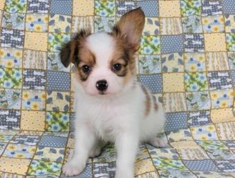 パピヨンの子犬(ID:1244711458)の2枚目の写真/更新日:2017-05-19