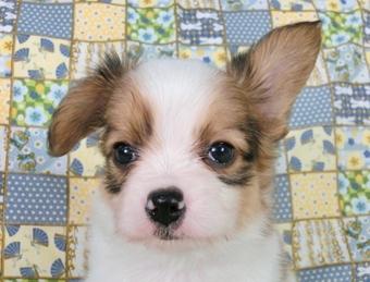 パピヨンの子犬(ID:1244711458)の3枚目の写真/更新日:2017-05-19