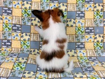 パピヨンの子犬(ID:1244711458)の4枚目の写真/更新日:2017-05-19