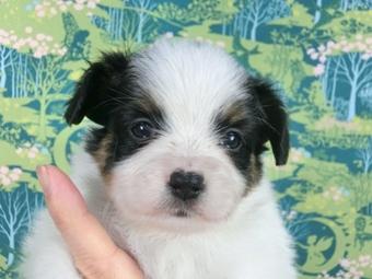 パピヨンの子犬(ID:1244711459)の2枚目の写真/更新日:2017-05-19