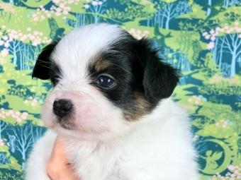 パピヨンの子犬(ID:1244711459)の3枚目の写真/更新日:2017-05-19