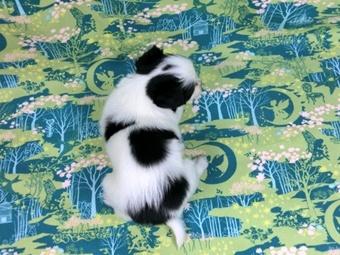 パピヨンの子犬(ID:1244711459)の4枚目の写真/更新日:2017-05-19