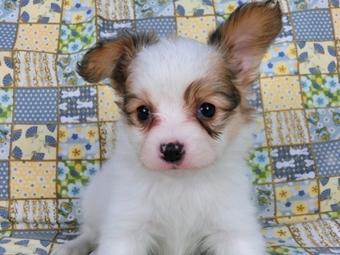 パピヨンの子犬(ID:1244711460)の1枚目の写真/更新日:2017-05-19