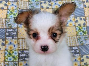 パピヨンの子犬(ID:1244711460)の2枚目の写真/更新日:2017-05-19