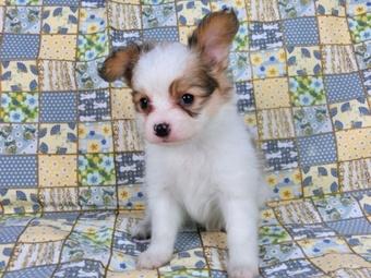 パピヨンの子犬(ID:1244711460)の3枚目の写真/更新日:2017-05-19