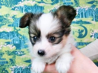 パピヨンの子犬(ID:1244711461)の1枚目の写真/更新日:2017-05-19