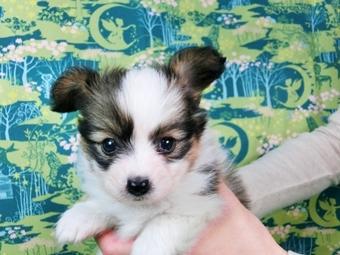 パピヨンの子犬(ID:1244711461)の2枚目の写真/更新日:2017-05-19