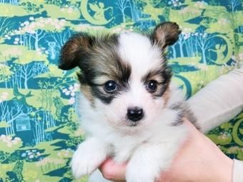 パピヨンの子犬(ID:1244711461)の3枚目の写真/更新日:2017-05-19