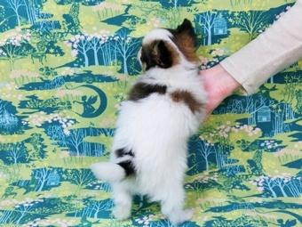 パピヨンの子犬(ID:1244711461)の4枚目の写真/更新日:2017-05-19