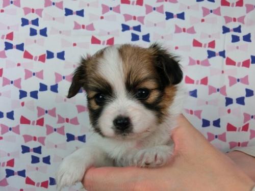 パピヨンの子犬(ID:1244711462)の1枚目の写真/更新日:2017-05-19