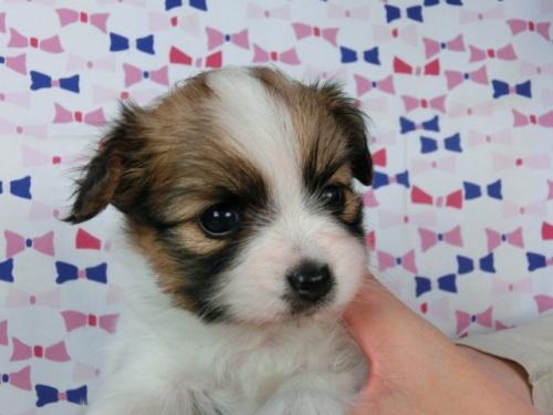 パピヨンの子犬(ID:1244711462)の3枚目の写真/更新日:2017-05-19