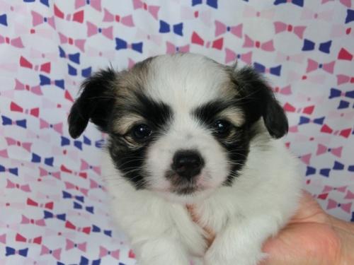 パピヨンの子犬(ID:1244711483)の1枚目の写真/更新日:2017-06-21
