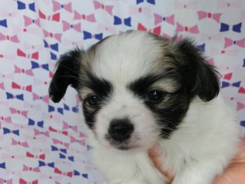 パピヨンの子犬(ID:1244711483)の3枚目の写真/更新日:2017-06-21