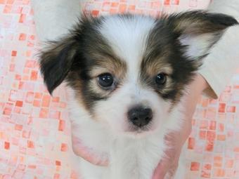 パピヨンの子犬(ID:1244711486)の1枚目の写真/更新日:2017-07-03
