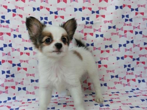 パピヨンの子犬(ID:1244711487)の1枚目の写真/更新日:2017-07-17
