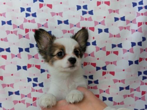 パピヨンの子犬(ID:1244711487)の2枚目の写真/更新日:2017-07-17