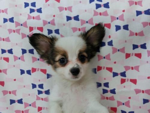 パピヨンの子犬(ID:1244711487)の3枚目の写真/更新日:2017-07-17
