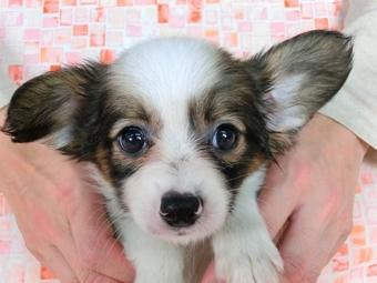パピヨンの子犬(ID:1244711488)の1枚目の写真/更新日:2017-07-03