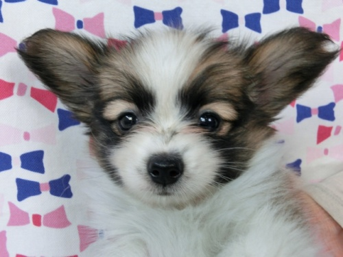 パピヨンの子犬(ID:1244711490)の1枚目の写真/更新日:2017-07-17